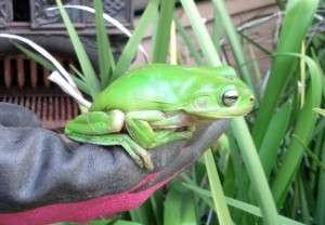 Green tree frog Bandusia