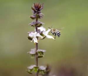 Australian native bee Amagilla on a cinnamon basil flower
